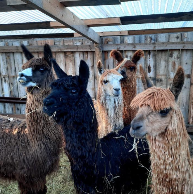 Camping met alpaca's