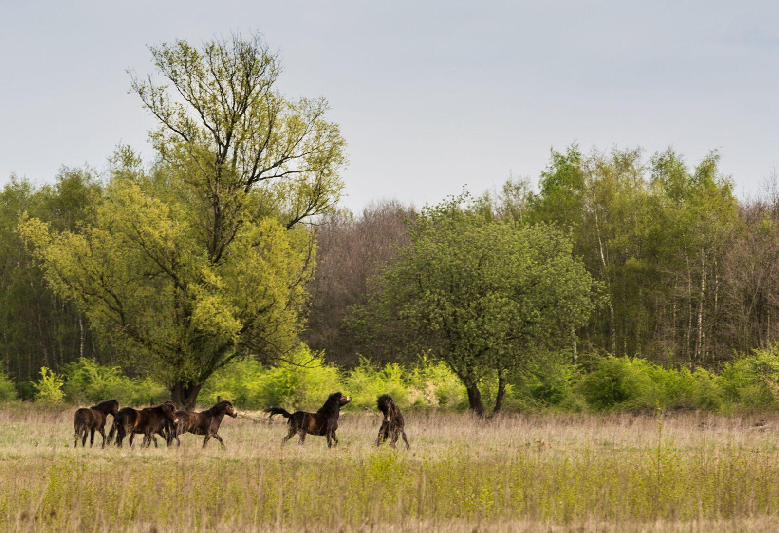 Exmoor pony Maashorst