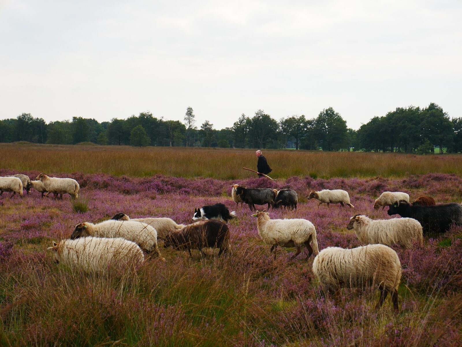 De mooiste schaapskuddes van Drenthe