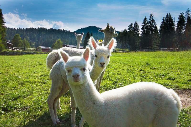 Alpaca walking tour in Seefeld