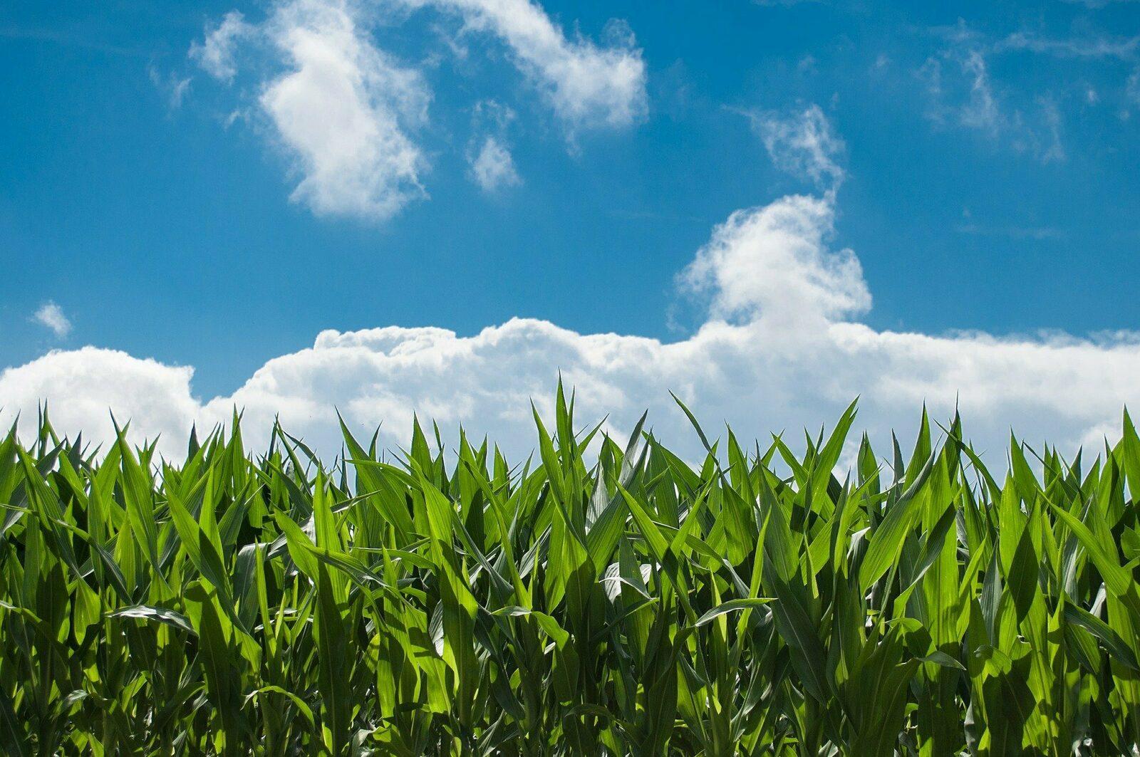 🌽 Finden Sie aus dem Maislabyrinth in Voorthuizen heraus!