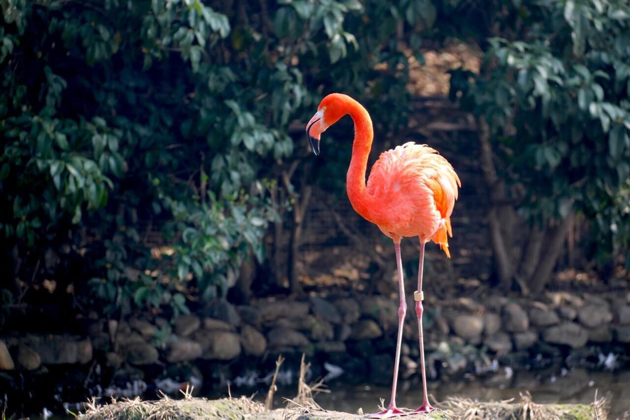 Benieuwd naar de dieren op Bonaire? De flamingo is hier een van. Dit prachtige en swingende dier is ontzettend mooi om te zien.