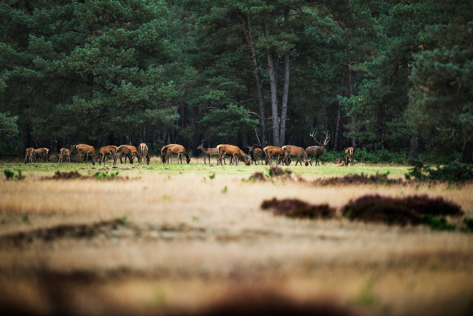 Roe deer in the Veluwe