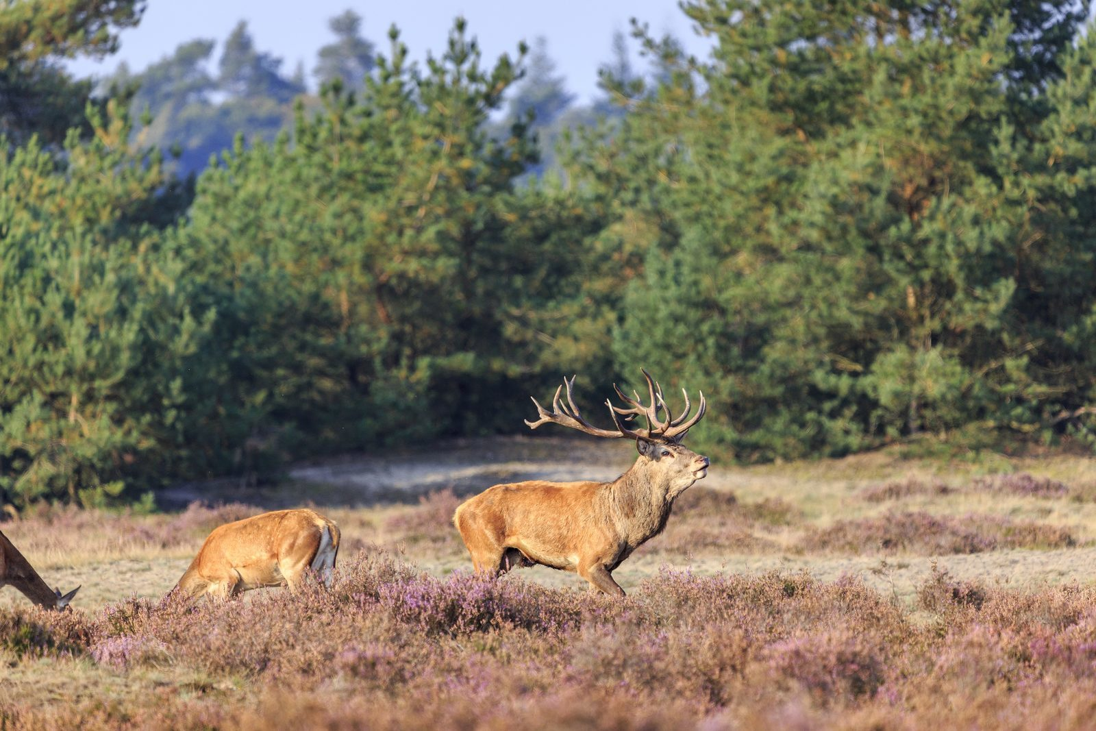 Red deer in the Veluwe