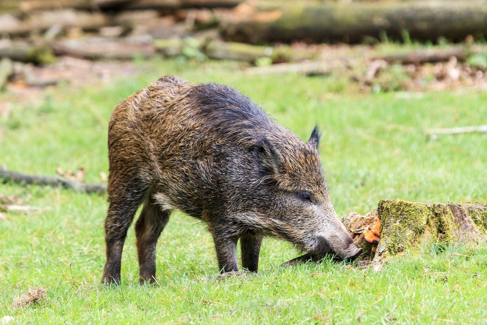 Wild boar in the Veluwe