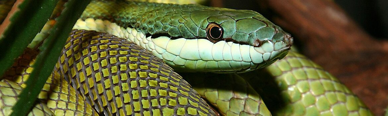 Un serpent vert