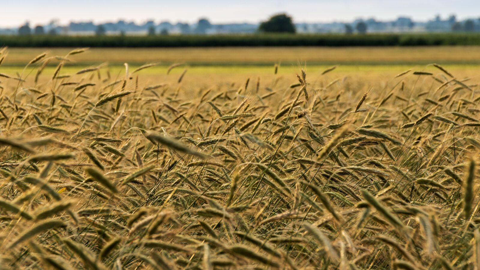 Corn maze Voorthuizen