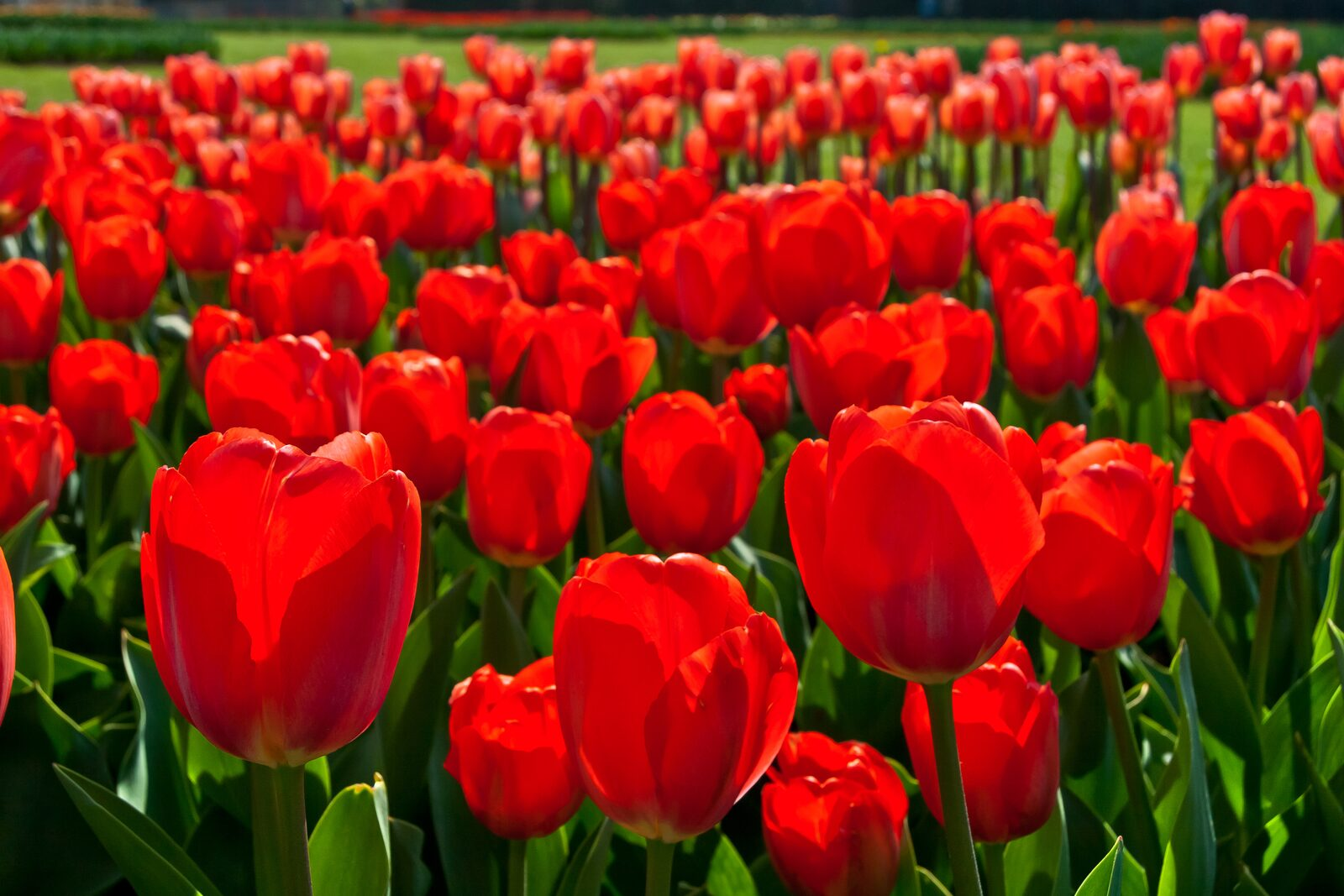 Tulpen-Exkursion an der Tulperij