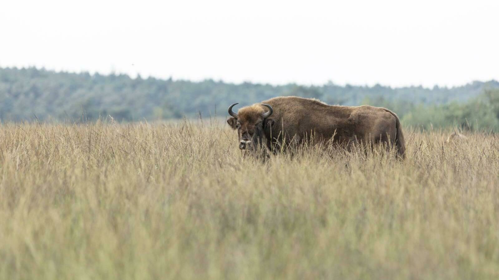 🐂 Spot the bison: Wisent Excursion!