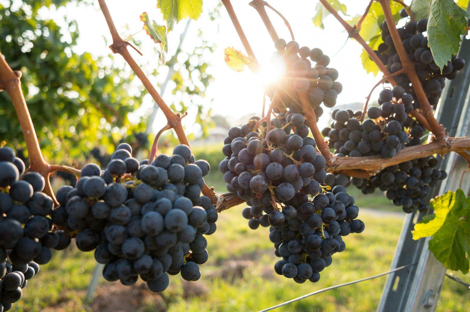 Wijngaard de Oogsthoek