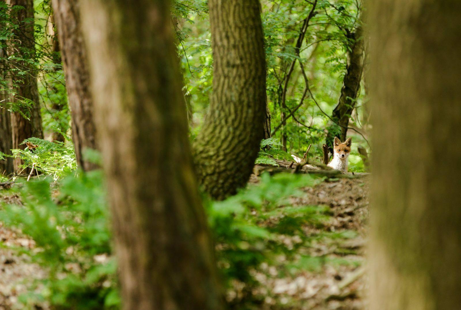 Spot een vos op de Maashorst